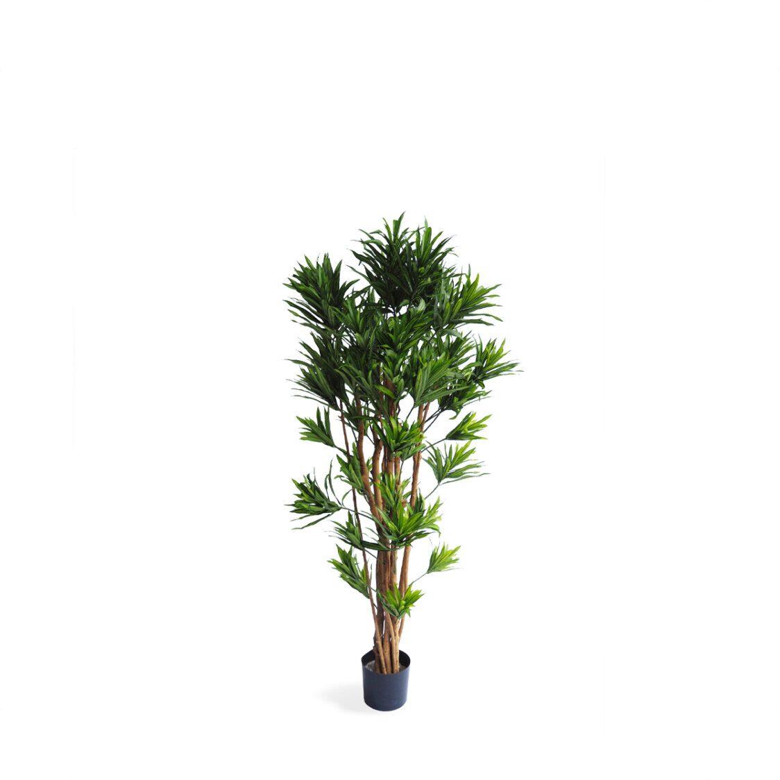 Pollyanna Dracena Reflexa Tree
