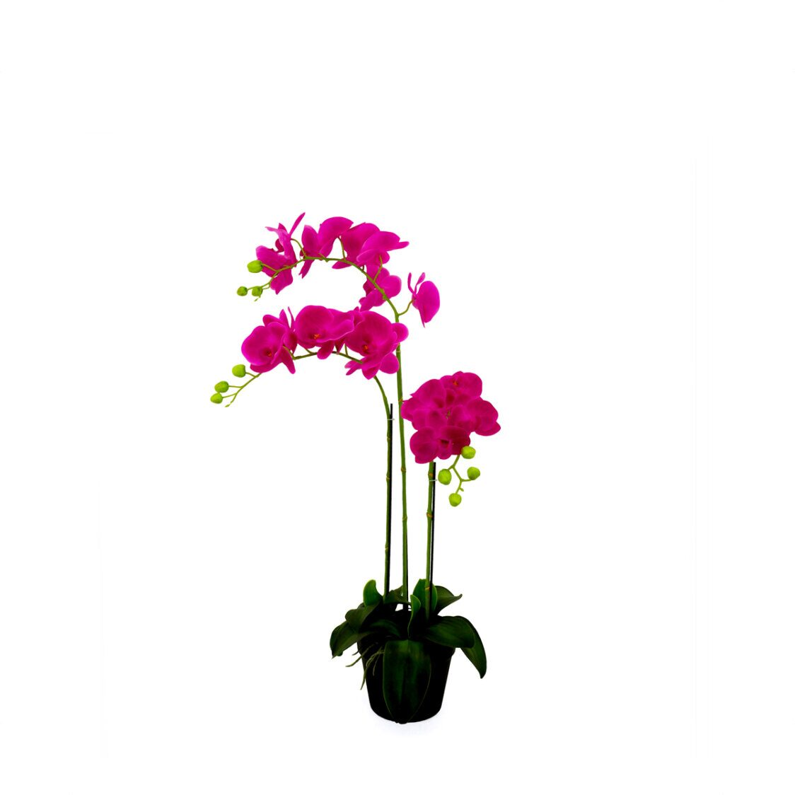 Pollyanna 3 Stalk Potted Fuschia Orchid