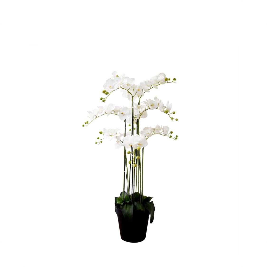 Pollyanna 9 Stalk Potted White Orchid