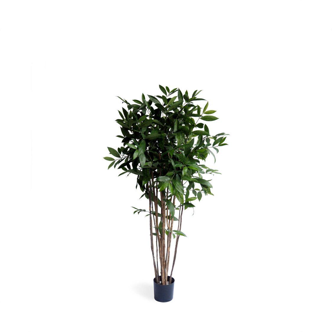 Pollyanna Dracena Surculosa Tree
