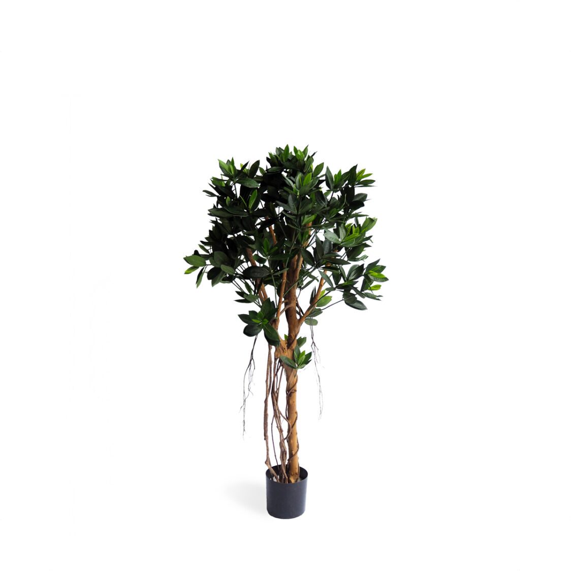 Pollyanna Potted Sweet Link Ball Tree